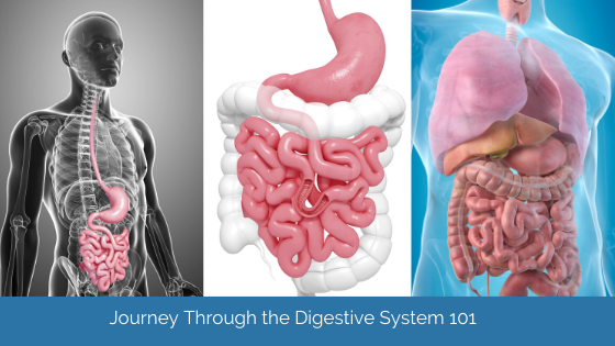 Journey Through The Digestive System: An Overview