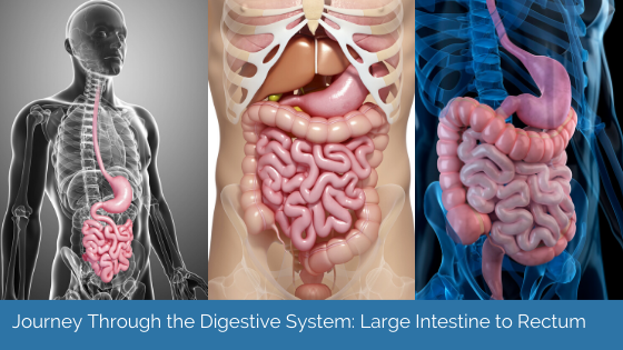 Journey Through The Digestive System: Large Intestine To Rectum