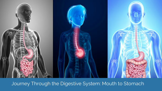 Journey Through The Digestive System: Mouth To Stomach